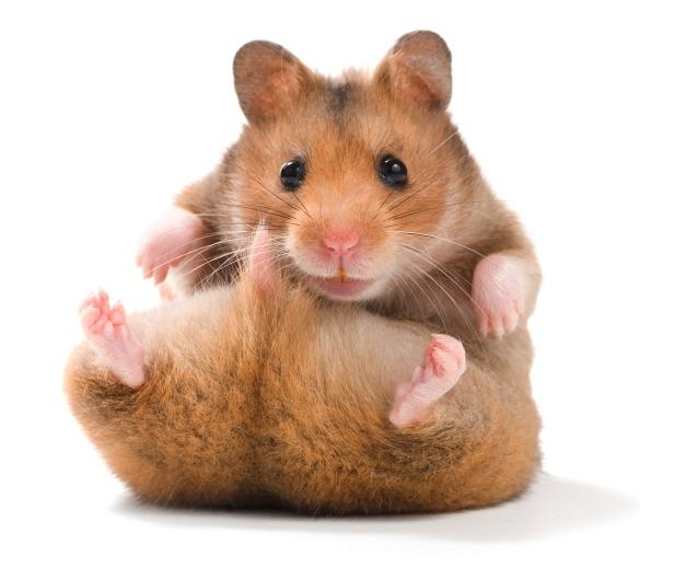syrian-hamster-4